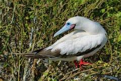 Красно-footed олух в острове Genovesa Стоковые Изображения RF
