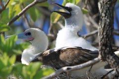 Красно-Footed птица олуха с цыпленоком Стоковое Изображение