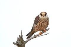 Красно-footed сокол (vespertinus Falco) Стоковые Изображения RF