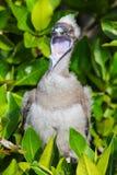 Красно-footed цыпленок олуха на острове Genovesa, PA Галапагос национальном стоковое фото