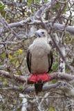 Красно-footed sula Sula олуха на острове Genovesa, национальном парке Галапагос, эквадоре стоковое фото rf