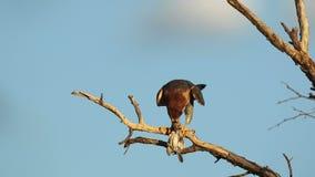 Красно-necked сокол есть добычу птицы сток-видео