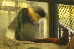 Красно--shanked Langur Douc в клетке стоковое изображение