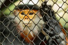 Красно--shanked langur douc родной к Юго-Восточной Азии, специфически Камбодже, Китаю, Лаосу и Вьетнаму Стоковые Фото