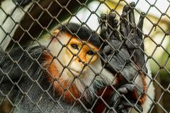 Красно--shanked langur douc родной к Юго-Восточной Азии, специфически Камбодже, Китаю, Лаосу и Вьетнаму Стоковые Изображения