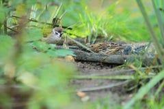 Красно-throated конек Стоковые Фото