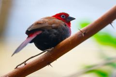 Красно-throated птица twinspot Стоковое Изображение RF