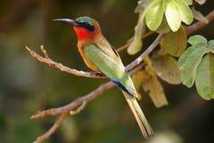 Красно-throated bulocki Merops пчел-едока Стоковое Изображение RF