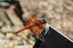 Красно-veined dragonfly змеешейки Стоковая Фотография RF