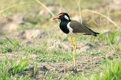 Красно--wattled птица lapwing Стоковые Изображения