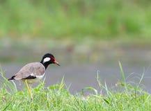 Красно--wattled Lapwing, милое звероловство птицы около озера Стоковые Изображения RF