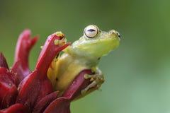 Красно-webbed древесная лягушка - rufitelus Hypsiboas Стоковые Изображения