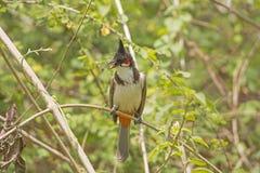 Красно--whiskered Bulbul в дереве Стоковая Фотография