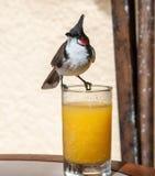 Красно--whiskered bulbul, jocosus Pycnonotus, смотря налево Maurit Стоковая Фотография