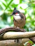Красно--whiskered Bulbul (jocosus Pycnonotus) Стоковая Фотография RF