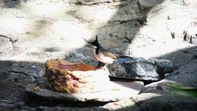 Красно--whiskered jocosus Pycnonotus птицы bulbul, или crested bulbul, едят с тропического леса показывая что это белое, черное a видеоматериал