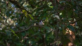Красно--Whiskered jocosus Pycnonotus птицы Bulbul сидя на ветви дерева видеоматериал
