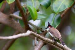 Красно--whiskered jocosus Pycnonotus bulbul Стоковые Изображения RF
