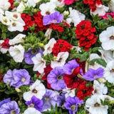 Красные, белые и фиолетовые петуньи Стоковое Фото