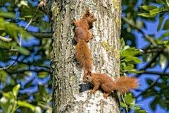 Красные белки в лесе Стоковые Фотографии RF