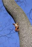 Красные белки на дереве Стоковые Фото
