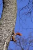Красные белки на дереве Стоковое Изображение