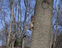 Красные белки на дереве Стоковое Изображение RF