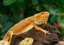 Красные бородатые драконы Стоковые Фото