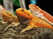 Красные бородатые драконы Стоковое фото RF