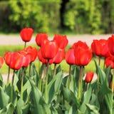 Красные бутоны тюльпана Стоковое фото RF