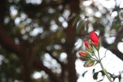 Красные бутоны цветка стоковое изображение rf