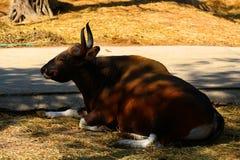 Красные быки в зоопарках, охране животного мира, животных и природе Стоковое Изображение