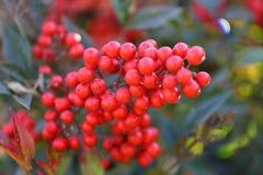 Красные вальмы Стоковое Изображение