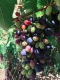 Красные виноградины зреют на ветви виноградины Стоковое Изображение