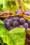 Красные виноградины на лозе в осени стоковое фото rf
