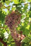 Красные виноградины на лозе стоковые изображения rf