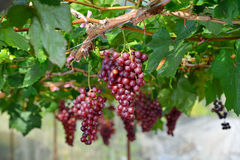 Красные виноградины Стоковые Фотографии RF