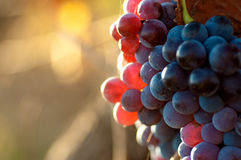 Красные виноградины Стоковое Фото