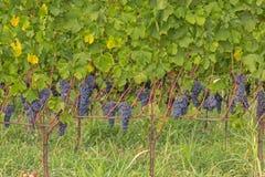 Красные виноградины в винограднике во время осени Стоковое Изображение RF
