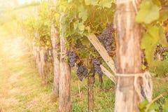 Красные виноградины в винограднике во время осени Стоковая Фотография RF