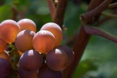 Красные виноградины в солнце утра Стоковые Фотографии RF