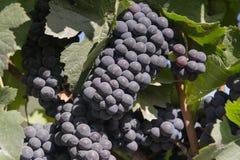 Красные виноградины на лозе на сборе Стоковые Изображения