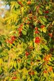 Красные вишни в дереве Стоковые Изображения