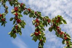 Красные вишни в дереве Стоковые Изображения RF