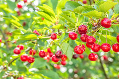 Красные вишни на ветви в саде, конце вверх Стоковое Фото