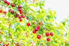 Красные вишни на ветви в саде, конце-вверх Стоковая Фотография