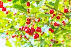 Красные вишни на ветви в саде, подсвеченном, конце-вверх Стоковые Изображения