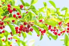 Красные вишни на ветви в саде, подсвеченном Стоковые Изображения RF