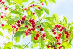 Красные вишни на ветви в саде, подсвеченном Стоковое фото RF