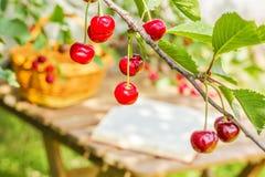Красные вишни на ветви в солнечном саде Стоковое Изображение
